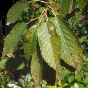 Photographie n°181337 du taxon Prunus avium (L.) L. [1755]