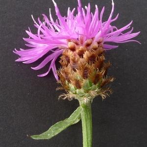 Centaurea decipiens Thuill. (Centaurée tardive)