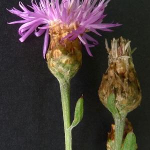 Photographie n°181378 du taxon Centaurea jacea subsp. timbalii (Martrin-Donos) Braun-Blanq. [1952]