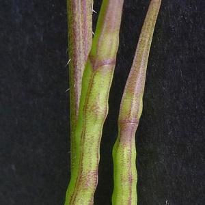 Photographie n°181380 du taxon Sinapis arvensis L. [1753]