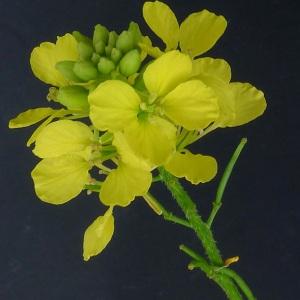 Sinapis arvensis L. (Moutarde des champs)