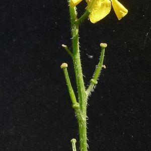 Photographie n°181386 du taxon Sinapis arvensis L. [1753]