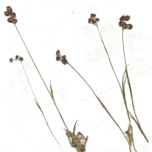 - Luzula alpinopilosa (Chaix) Breistr. [1947]
