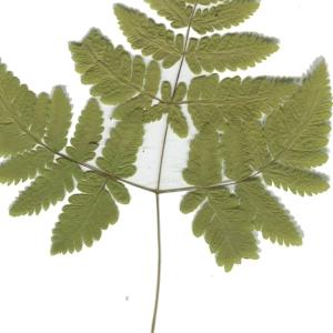 Photographie n°181419 du taxon Gymnocarpium dryopteris (L.) Newman [1851]