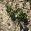 Adélaïde BUGUELLOU - Solanum nigrum L.
