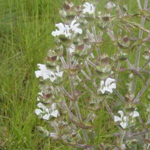 - Salvia aethiopis L.