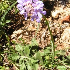 Photographie n°181597 du taxon Scabiosa cinerea subsp. cinerea
