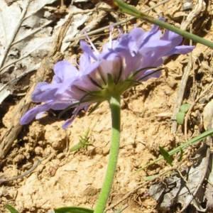 Photographie n°181599 du taxon Scabiosa cinerea subsp. cinerea
