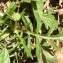 Alain Bigou - Scabiosa cinerea subsp. cinerea