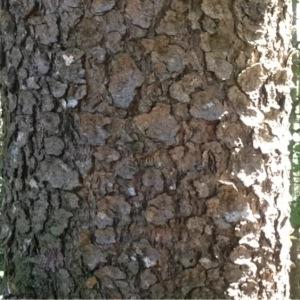 - Picea abies (L.) H.Karst.