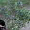 Liliane Roubaudi - Vaccinium myrtillus L.