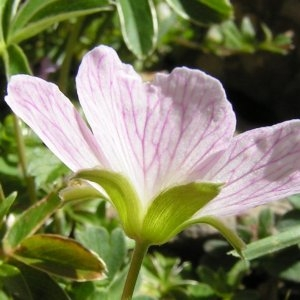 Photographie n°181905 du taxon Geranium cinereum Cav. [1787]