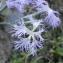 Jacques BUREAU - Caryophyllaceae