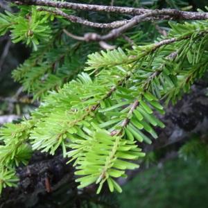 Photographie n°182086 du taxon Abies alba subsp. alba