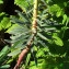Bernard Andrieu - Euphorbia characias L. [1753]