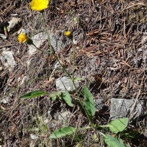 Photographie n°182151 du taxon Hieracium cerinthoides L. [1753]