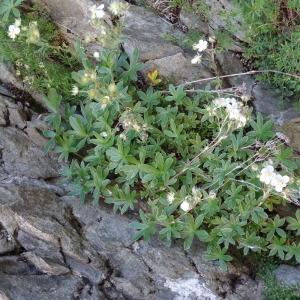 Photographie n°182199 du taxon Potentilla alchemilloides Lapeyr. [1782]