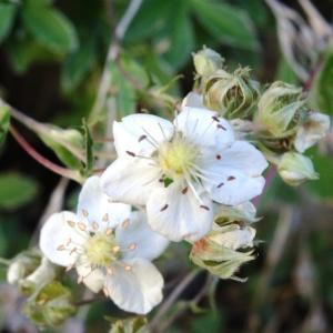 Potentilla alchemilloides Lapeyr. (Potentille fausse alchémille)