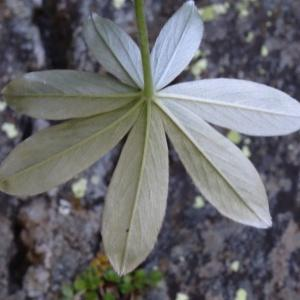 Photographie n°182203 du taxon Potentilla alchemilloides Lapeyr. [1782]