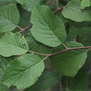 Prunus brigantina Vill. (Marmottier)