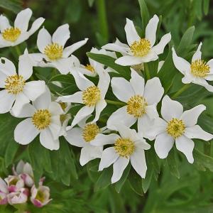Anemone narcissiflora L. (Anémone à feuilles de narcisse)