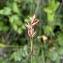 Emmanuel Stratmains - Carex echinata Murray [1770]