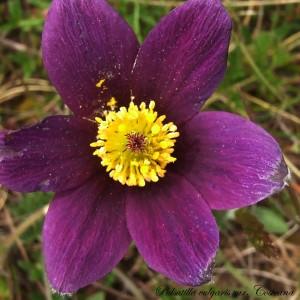 Anemone pulsatilla subsp. bogenhardtiana var. costeana (Aichele & Schwegler) B.Bock