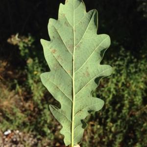 Photographie n°182414 du taxon Quercus robur L. [1753]