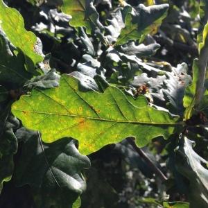 Photographie n°182416 du taxon Quercus robur L. [1753]