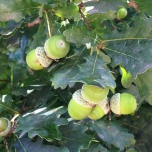 Photographie n°182417 du taxon Quercus robur L. [1753]