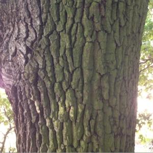 Photographie n°182418 du taxon Quercus robur L. [1753]
