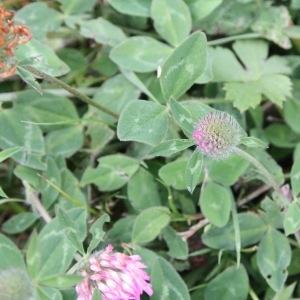 - Trifolium medium L.
