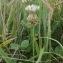Felice OLIVESI - Trifolium repens L. [1753]