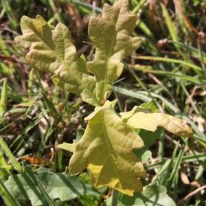Photographie n°182595 du taxon Quercus robur L. [1753]