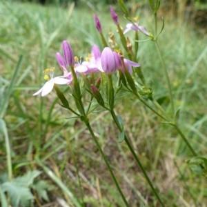 Centaurium pulchellum (Sw.) Druce (Petite-centaurée délicate)