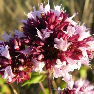 Origanum vulgare L. (Marjolaine sauvage)