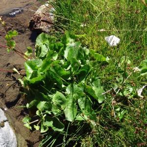 Photographie n°182838 du taxon Caltha palustris subsp. palustris
