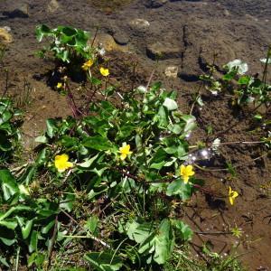 Photographie n°182840 du taxon Caltha palustris subsp. palustris