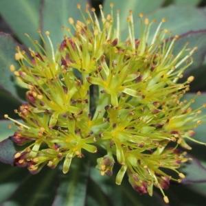 Rhodiola rosea L. (Orpin odorant)