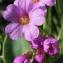 Marie  Portas - Primula latifolia Lapeyr.