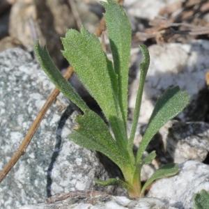 Photographie n°182948 du taxon Achillea erba-rotta All.