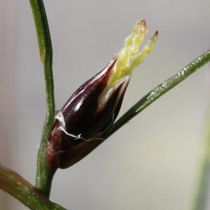 Juncus trifidus L. (Jonc trifide)