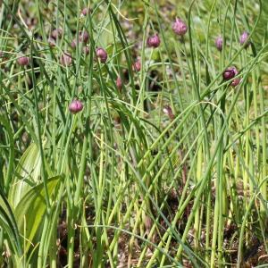 Photographie n°182963 du taxon Allium schoenoprasum L.