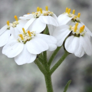 Achillea erba-rotta All. (Achillée à feuilles simples)