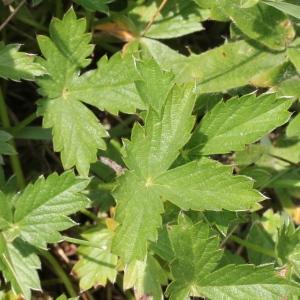- Potentilla grandiflora L. [1753]