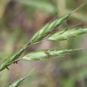 Bromus racemosus L. (Brome à grappes)