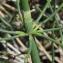 Marie  Portas - Equisetum ramosissimum Desf.