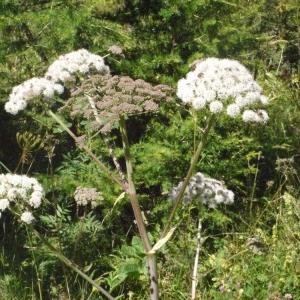 Photographie n°183090 du taxon Angelica sylvestris L. [1753]