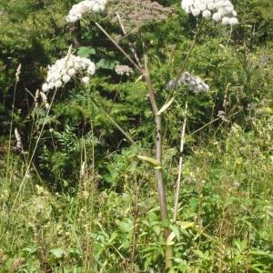 Photographie n°183091 du taxon Angelica sylvestris L. [1753]