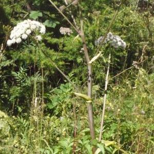 Photographie n°183092 du taxon Angelica sylvestris L. [1753]